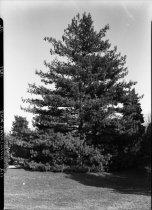 Image of Pinus griffithii (Himalayan Pine)  1937 - 2011.8.112