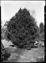 Image of Sciadopitys verticillata (Japanese Umbrella Pine)  1937 - 2011.8.114