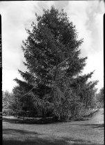 Image of Larix laricina (Tamarack Larch)  1937 - 2011.8.123