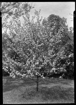 Image of Malus  1937  (Apple Genus) - 2011.8.13