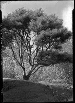 Image of Pinus densiflora umbraculifera (Japanese Red Pine)  1937 - 2011.8.135