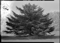 Image of Abies homolepis (Nikko Fir)  1937 - 2011.8.141