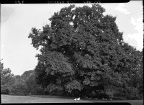 Image of Ulmus parvifolia (Chinese elm)  with ducks beneath the tree  1937 - 2011.8.152