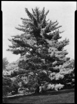 Image of Pinus koraiensis (Korean pine)  1937 - 2011.8.159