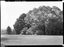 Image of Sophora Japonica  1937  (Pagoda Tree) - 2011.8.17