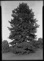 Image of Quercus robur (English oak)  1937 - 2011.8.174