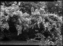 Image of Philadelphus coronarius  1937  (Mock Orange) - 2011.8.27