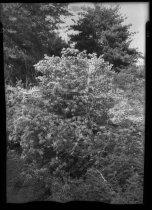 Image of Orange Azaleas  1937 - 2011.8.39