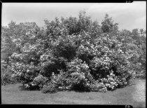 Image of Viburnum dentatum (Southern arrowwood)  1937 - 2011.8.49