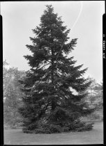 Image of Albies cephalonica (Greek fir)  1937 - 2011.8.71