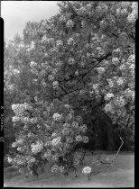 Image of Xanthoceras sorbifolium (Chinese flowering chestnut, shiny leaf yellowhorn)  1937 - 2011.8.73