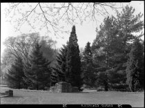 Image of Group of conifers  1937 - 2011.8.79