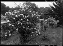 Image of Rose garden along stone wall with summerhouse pavilllion in rear  1937 - 2011.8.83
