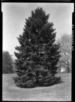 Image of Abies concolor (Colorado fir)  1937 - 2011.8.87