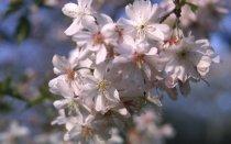 Image of Magnolia Prunus subhirtella 'Autumnalis'  1965 - 2012.1.11
