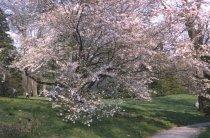 Image of Prunus subhirtella 'Autumnalis'  1965 - 2012.1.7