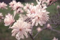 "Image of  Magnolia stellata ""Rosea'  1965 - 2012.1.9"
