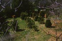 Image of Boxwood planting  1961 - 2013.1.124