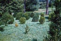 Image of Boxwood planting  1959 - 2013.1.125