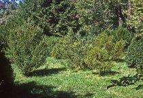 Image of Boxwood planting  1963 - 2013.1.126