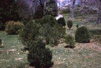 Image of Boxwood Planting  1963 - 2013.1.128