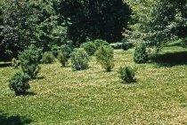 Image of Boxwood Planting  1957 - 2013.1.129