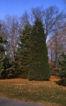 Image of Coniferetum  1964 - 2013.1.131