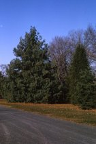 Image of Coniferetum  1964 - 2013.1.133