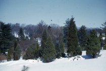 Image of Conifer Group in Winter  1956 - 2013.1.140