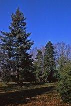 Image of Conifer Group Lower Park  1957 - 2013.1.149