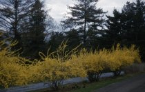 Image of Forsythia Row  1957 - 2013.1.155