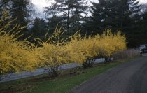 Image of Forsythia Row  1956 - 2013.1.156