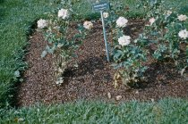 Image of Cocoa Shell Mulch in Rose Garden  1961 - 2013.1.19