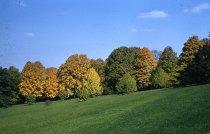 Image of Sugar Maples along Meadowbrook Avenue  1957 - 2013.1.20