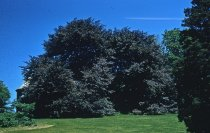 Image of Fagus sylvatica at Morris Arboretum  1957 - 2013.1.266