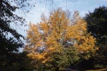 Image of Cercidiphyllum japonicum  1958 - 2013.1.267
