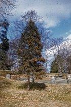 Image of Sequoiadendron at Morris Arboretum  1956 - 2013.1.269