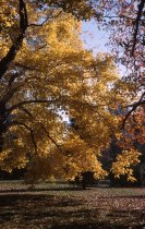 Image of Acer rubrum at the Morris Arboretum  1962 - 2013.1.275