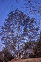 Image of Pinus Bungeana   1968 - 2013.1.277