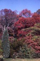 Image of Nyssa on Slope at Morris Arboretum  1965 - 2013.1.280