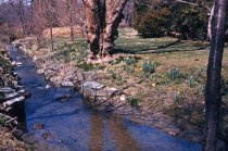 Image of Narcissus Along East Creek  1980 - 2013.1.281