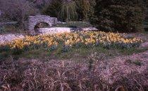 Image of Narcissus near Rain Main By Swan Pond Bridge  1966 - 2013.1.282