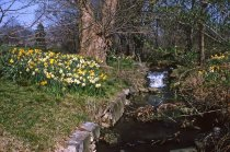 Image of Narcissus Along Stream  1964 - 2013.1.283