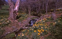 Image of Narcissus Seen From Stone Bridge  1966 - 2013.1.284