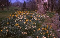 Image of Narcissus Looking Up Slope  1966 - 2013.1.285