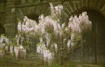 Image of Wisteria by Seven Arches, 1957 - 2013.1.444