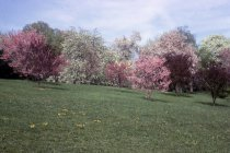 Image of South Slope Flowering Cherries and Magnolias In Spring  1968 - 2013.1.45