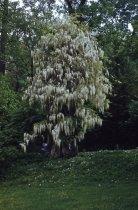 Image of Wisteria floribunda alba at Morris Arboretum, 1959 - 2013.1.450
