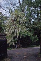Image of Wisteria floribunda alba, 1959 - 2013.1.451