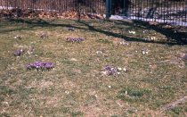 Image of Crocus Spp.  1960 - 2013.1.57
